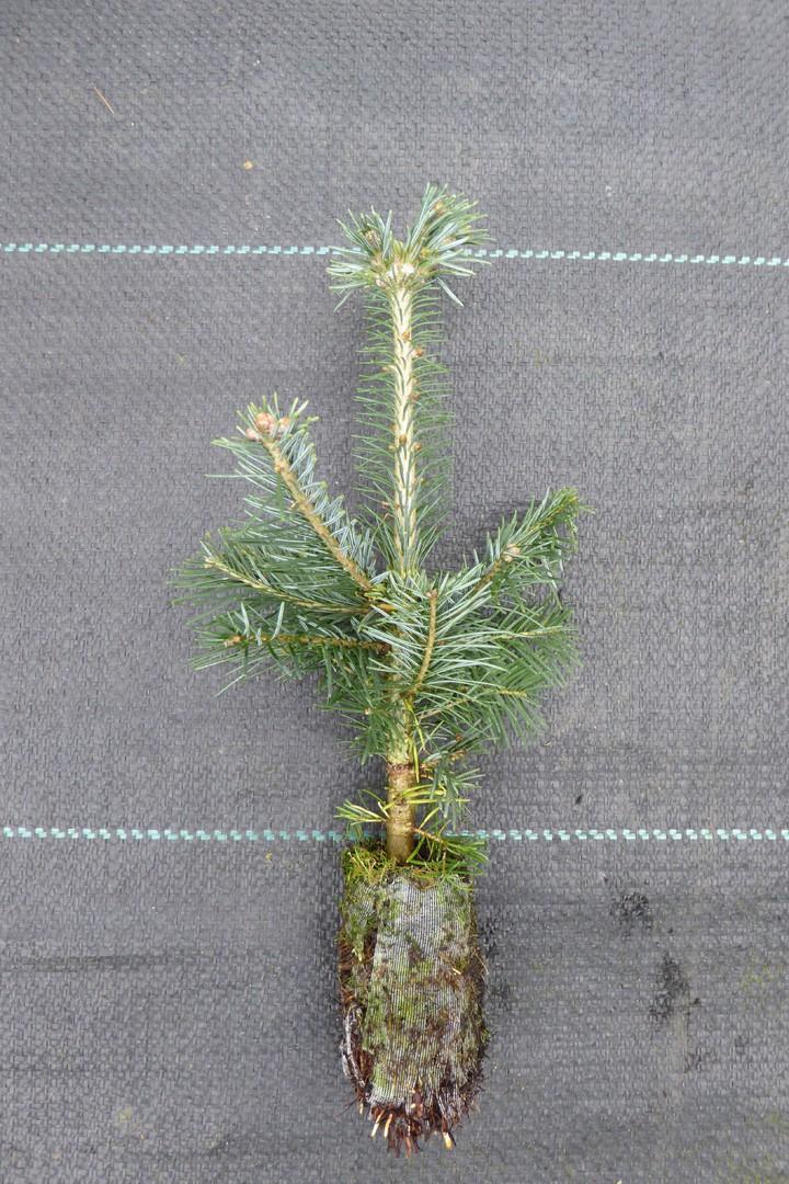 Weihnachtsbaum jungpflanzen