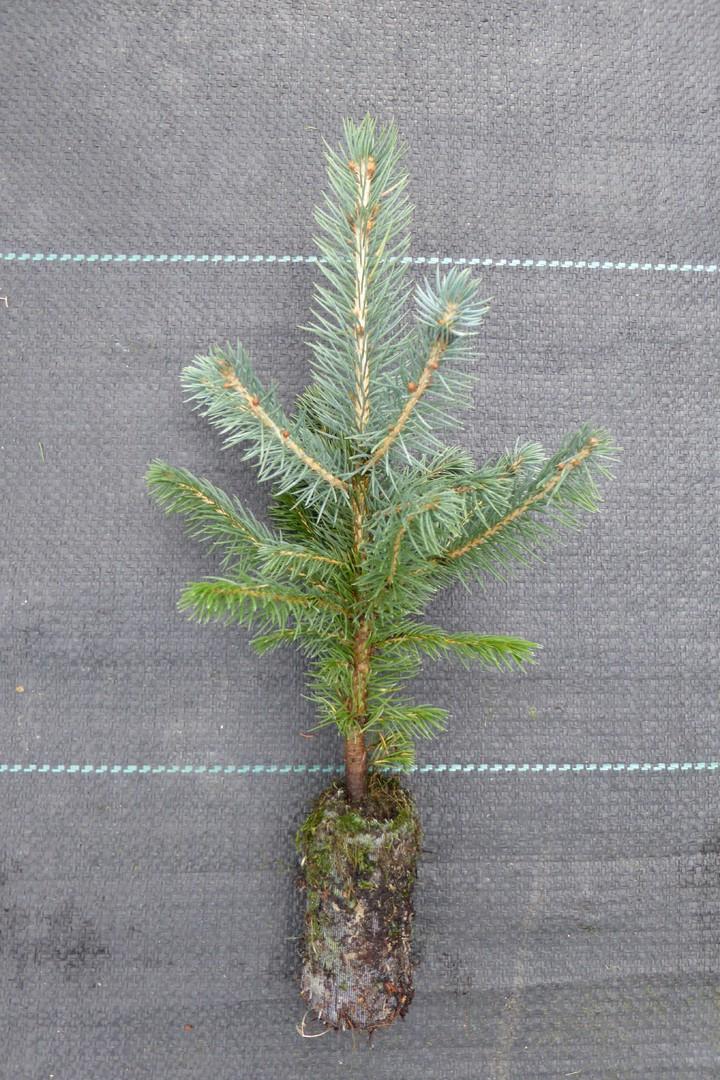 uehre gartenland jiffy forstpflanzen jiffy weihnachtsbaumpflanzen formgeh lze heckenpflanzen. Black Bedroom Furniture Sets. Home Design Ideas